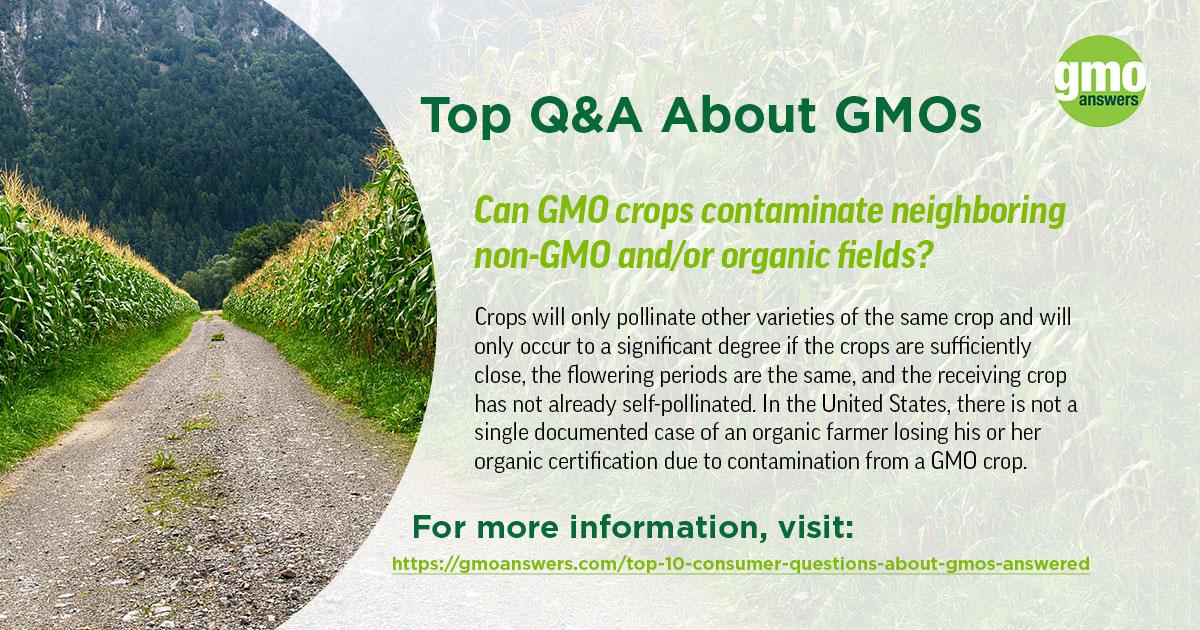 Can GMO crops contaminate neighboring non-GMO crops?