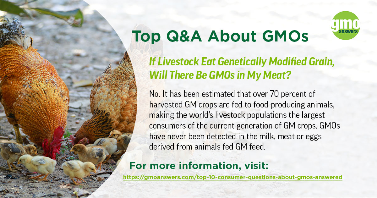 If Livestock Eat Genetically Modified Grain, Will There Be GMOs in My Meat?