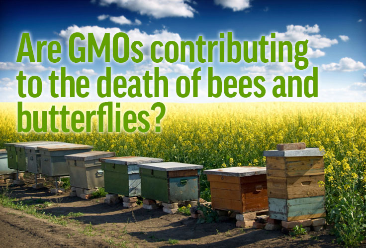 Are GMOs contributing to the death of bees and butterflies
