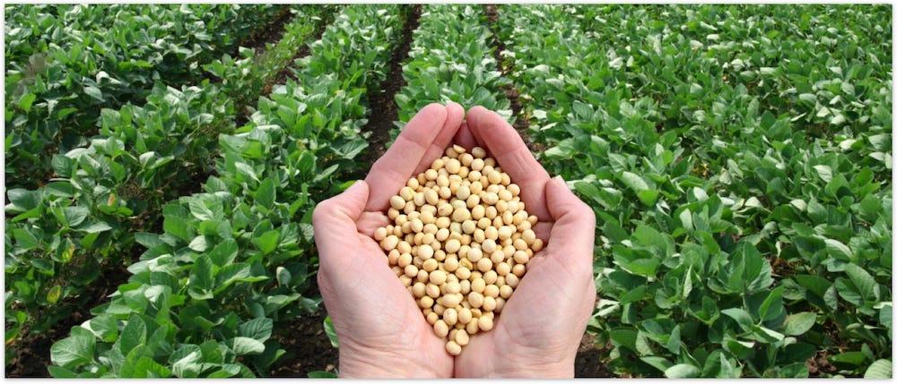 GMO Soybeans
