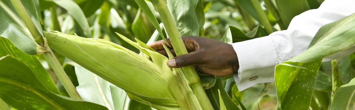 GMOs Globally | GMO Answers
