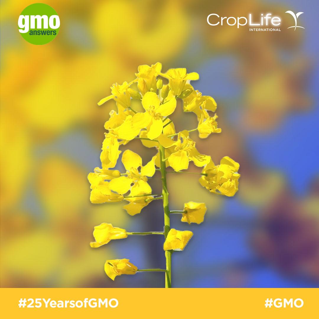 GMO Canola