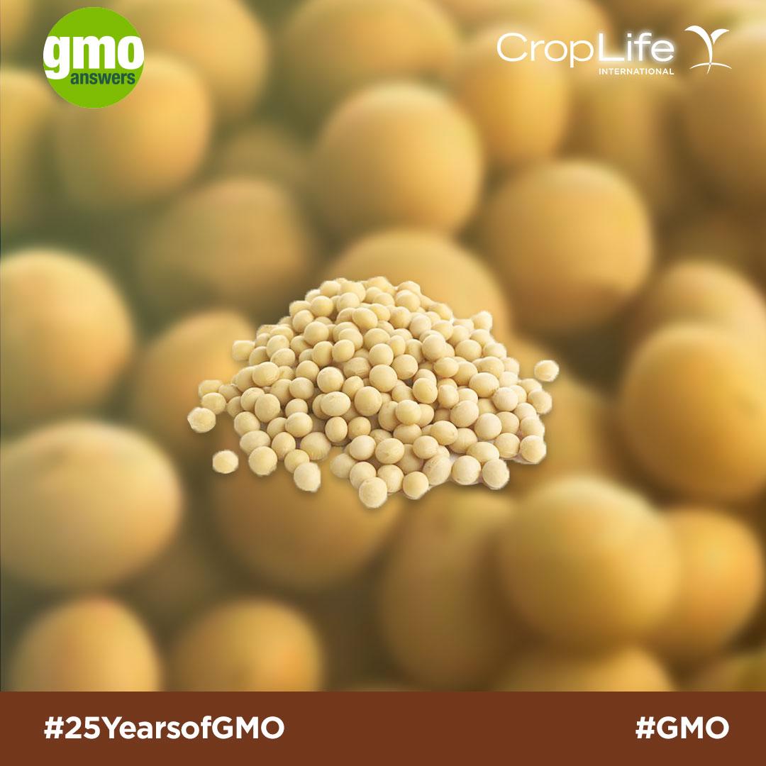 GMO soy