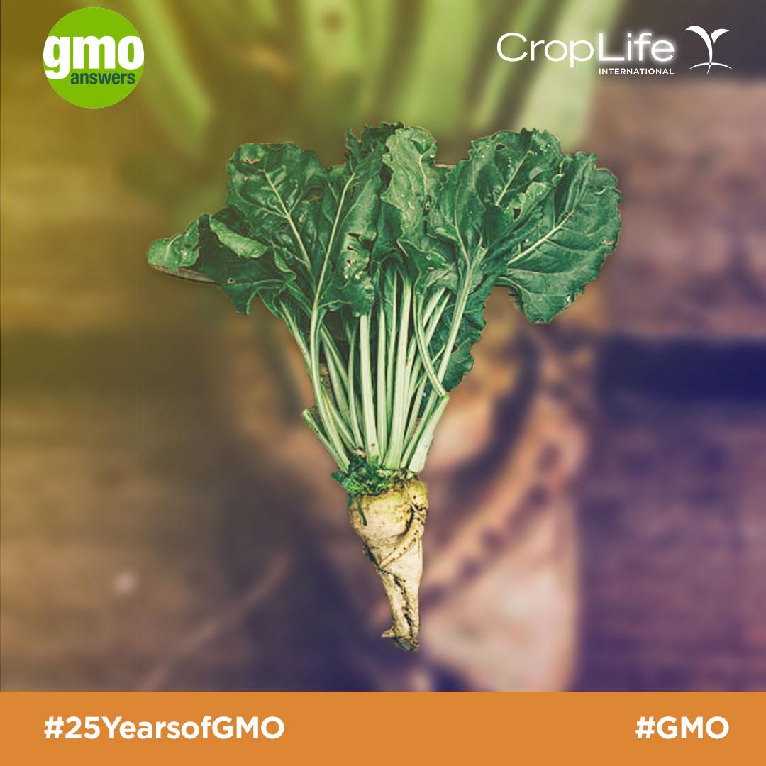 GMO Sugar Beet