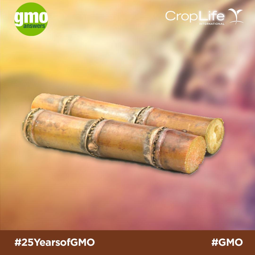 GMO sugarcane