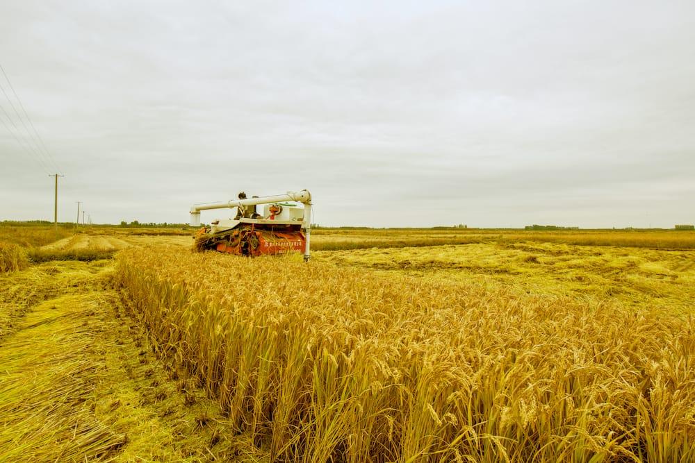 Benefits of golden rice