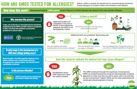 How are GMOs tested for allergies?