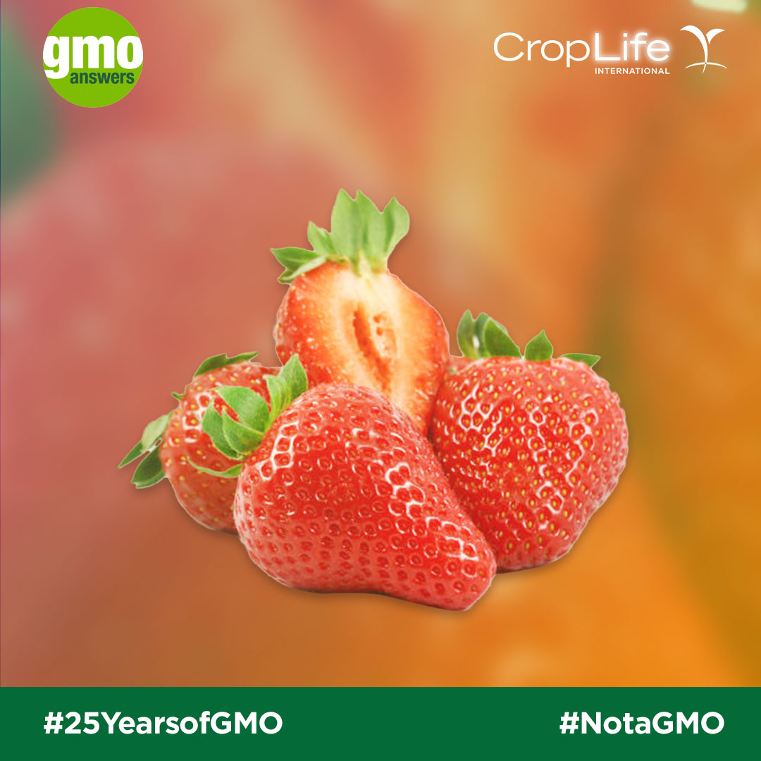Strawberries are not GMOs