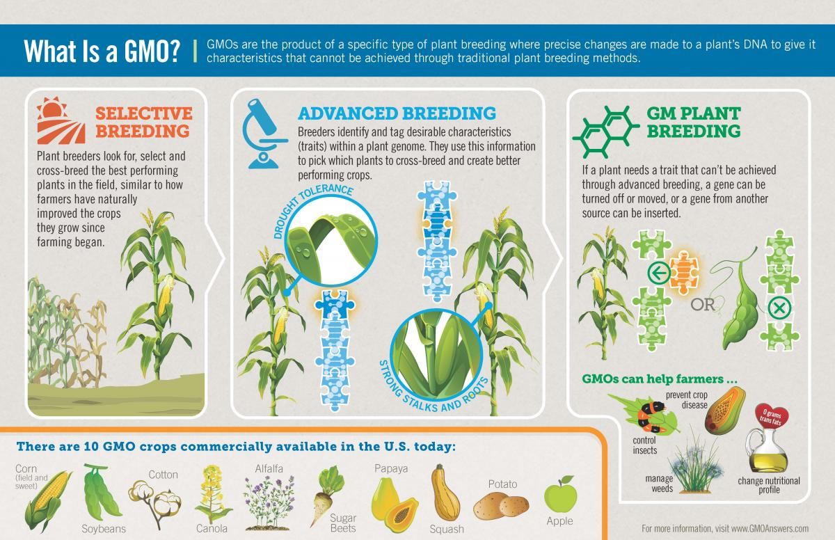 Examples of genetically modified crops