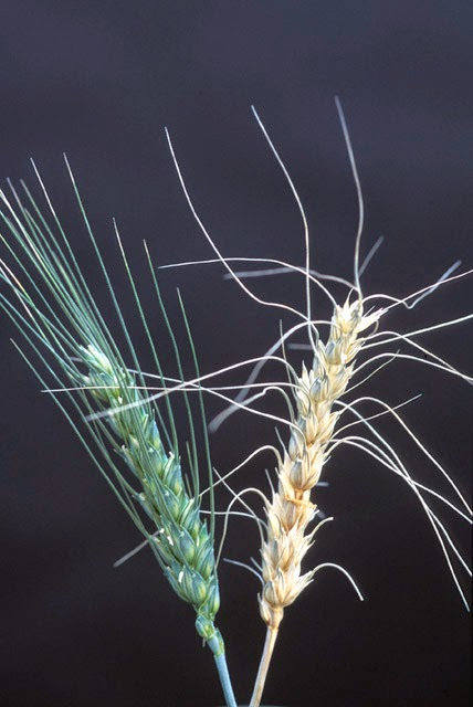 Fusarium infected wheat