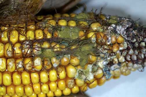 infected corn
