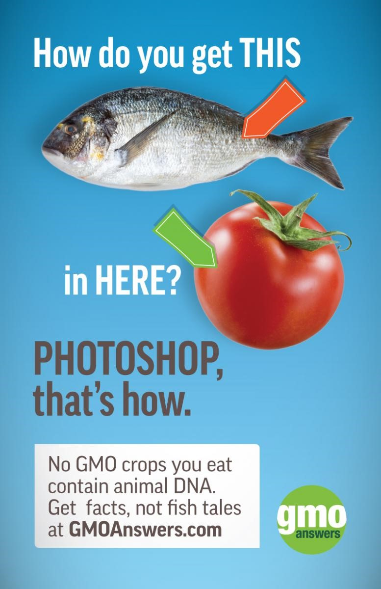 what are the good and the bad things about fish DNA in tomatoes ...