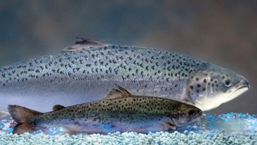 A genetically engineered AquAdvantage salmon alongside an Atlantic salmon  of the same age.
