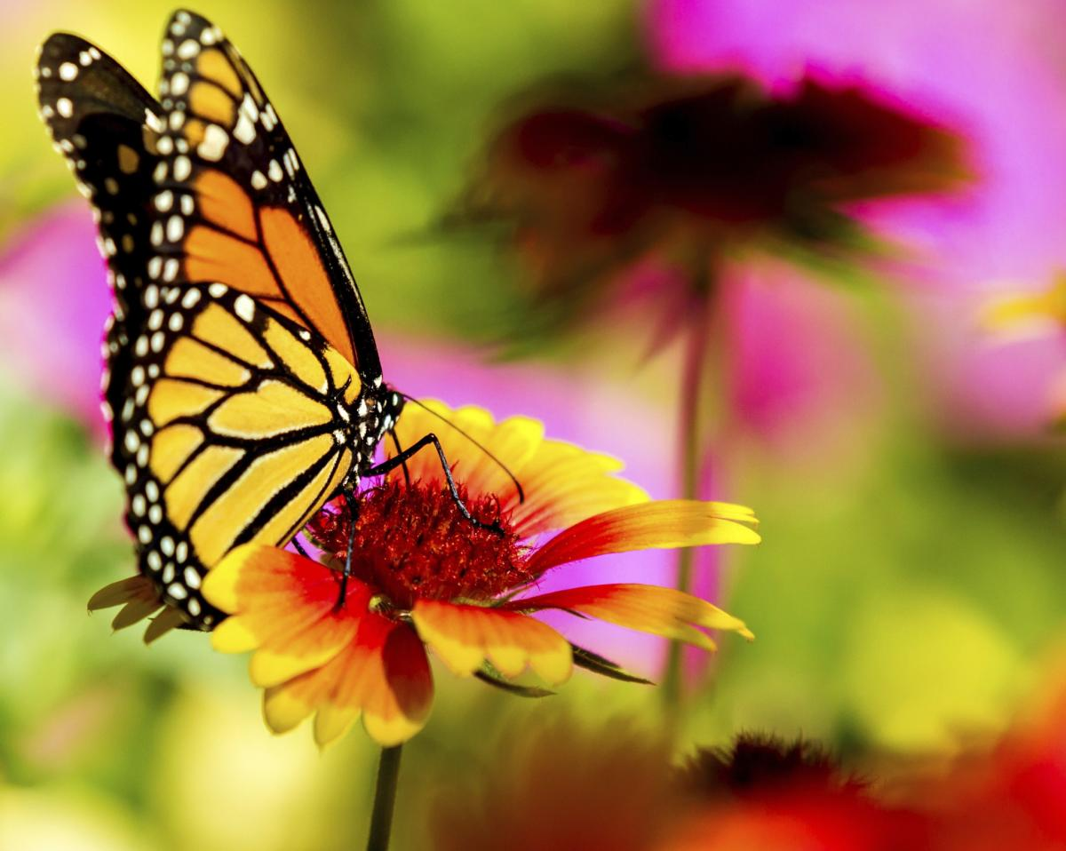 GMOs and butterflies