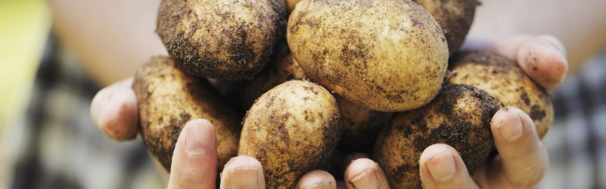 gmo potato food waste