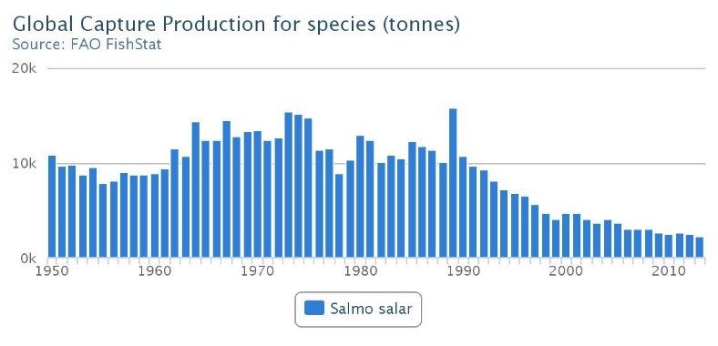 Since the 1990's, there has been a decline in wild Atlantic salmon populations.
