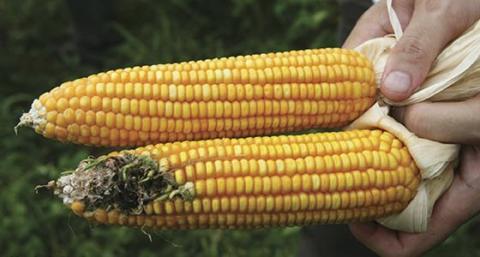 Bt GMO corn and non-GMO corn