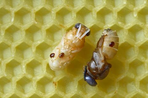 Varroa mites bees
